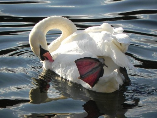 You're a swan! not an upgraded ugly duckling! (I took this Photo on the Thames. Love it!)